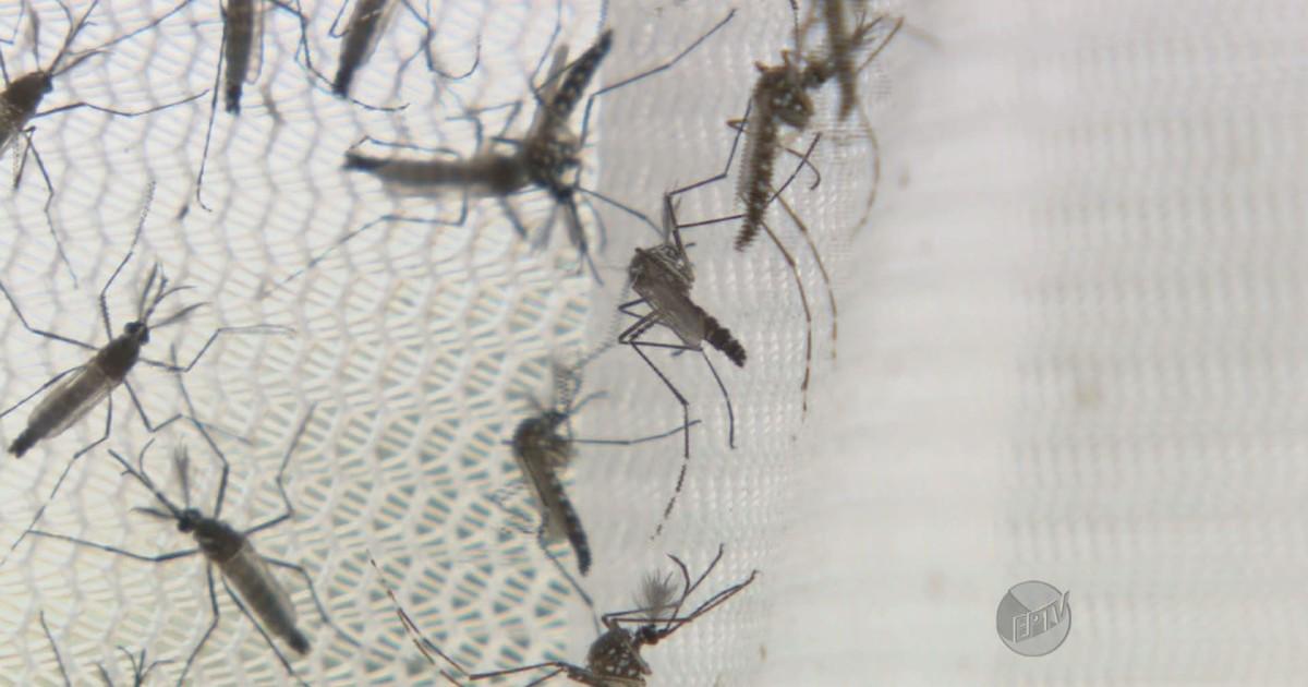 Piracicaba começa a liberar 1 milhão de Aedes transgênico por semana