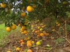 Em SP, falta de acordo entre indústria e produtores atrasa colheita da laranja