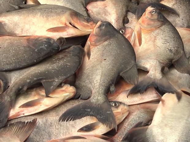 Produção de peixe em cativeiro ajudou a transformar vida nas comunidades na zona rural de Matinha (MA) (Foto: Reprodução/TV Mirante)