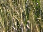 Agricultores dobram área plantada com trigo em Minas Gerais