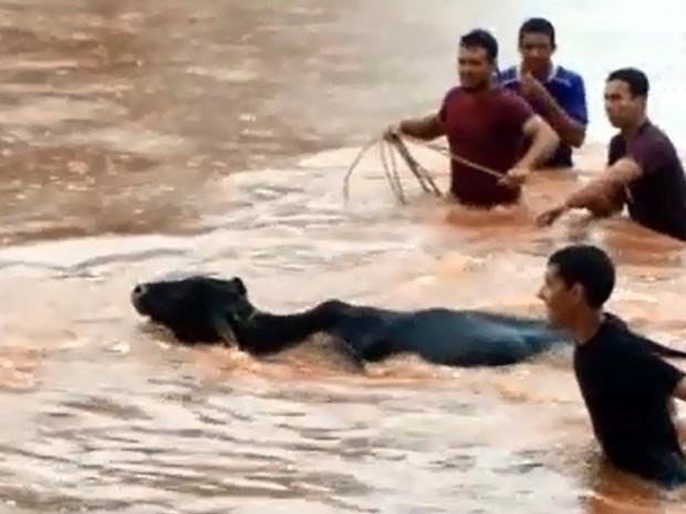 Moradores usaram uma corda para resgatar boi levado pela enxurrada em Maracaí (Foto: Reprodução)