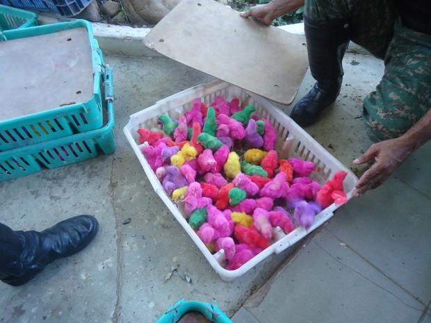 Metades dos pintinhos apreendidos morreram até segunda-feira (25) (Foto: Patrícia Belo / G1)