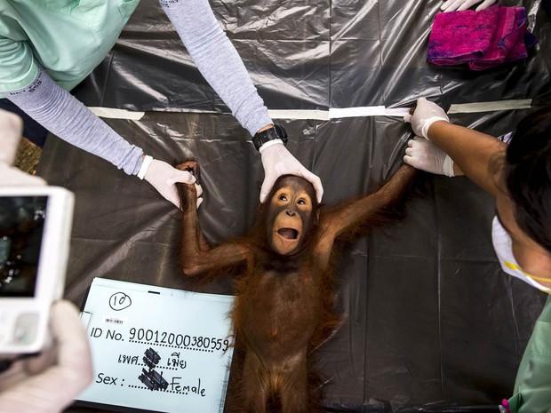 Orangotango de 2 anos é fotografada em exame no Centro de Conservação Kao Pratubchang em Ratchaburi, Tailândia. Veterinários examinaram 14 orangotangos preparando-os para repatriação à Indonésia. Eles foram apreendidos em atividades de entretenimento (Foto: Athit Perawongmetha/Reuters)