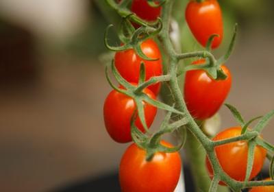hortifruti_tomate (Foto: Sérgio Zacchi / Editora Globo)
