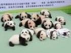 Filhotes de panda são apresentados ao público na China