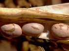 Paraná colhe boa safra de feijão, mas preço deixa a desejar