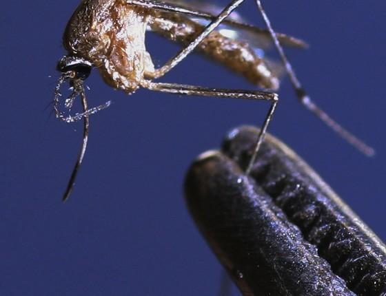 Culex- o mosquito comum. O vírus da zika sobrevive no organismo dele (Foto: Getty Images)
