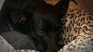 Cão que vivia há mais de 2 anos em frente a hospital após morte do dono morre em SC