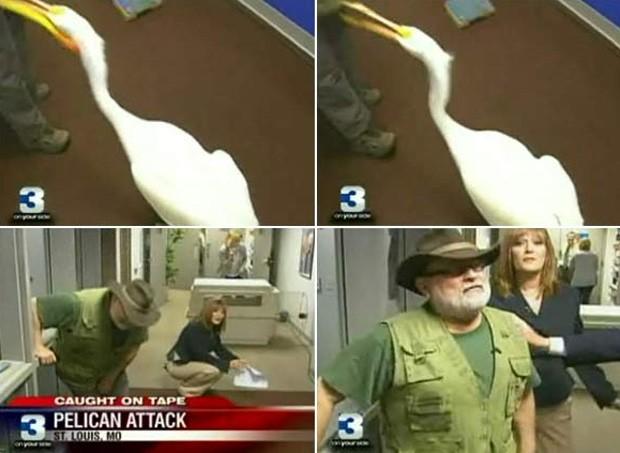 Um pelicano atrevido atacou a genitália de um especialista em aves durante um programa ao vivo da emissora de TV 'Fox2'. O perito iria comentar sobre a invasão de pelicanos em uma área de St. Louis, no estado do Missouri (EUA), quando levou a bicada da ave (Foto: Reprodução/Fox)