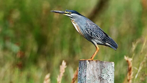 Socozinho vive em regiões de lagos e rios do Brasil (Rudimar Narciso Cipriani/ TG)