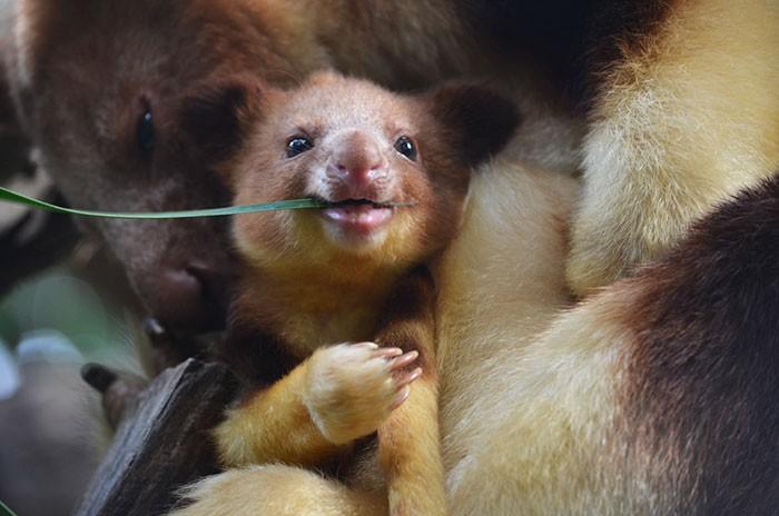 A espécie vive na Austrália (Foto: Perth Zoo)