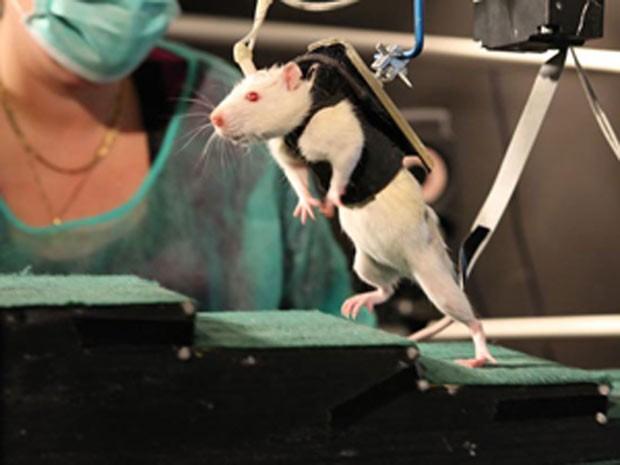 Camundongo dá os primeiros passos depois de se submeter a um experimento que combinou um dispositivo mecânico com estimulação eletroquímica (Foto: EPFL/Grégoire Courtine)
