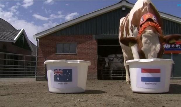 Após erro inicial, vaca previu a vitória sobre a Austrália (Foto: Reprodução/Twitter/RTV NH)