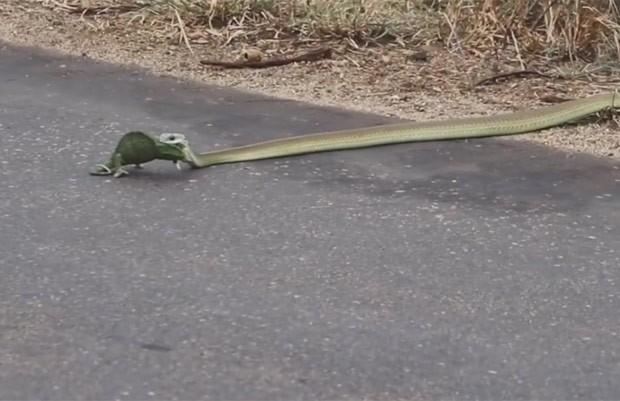 Vídeo mostra cobra arrastando a presa para o meio do mato (Foto: Reprodução/YouTube/Kruger Sightings)