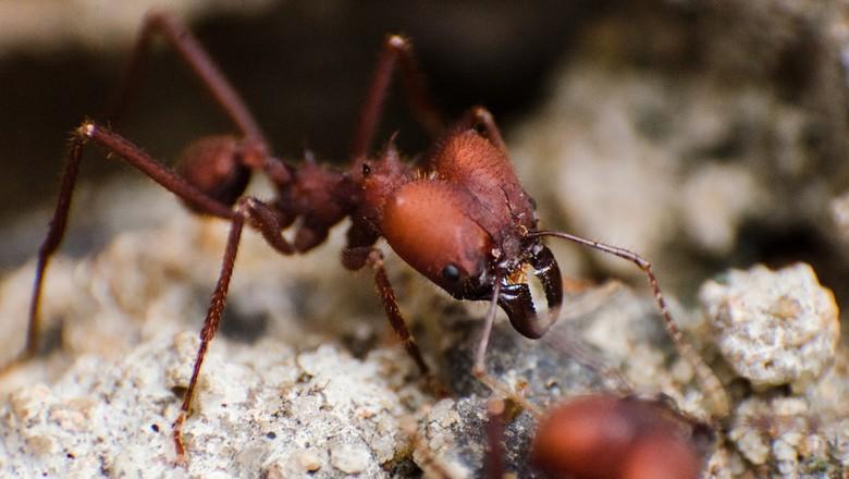 formiga-cortadeira (Foto: Divulgação)