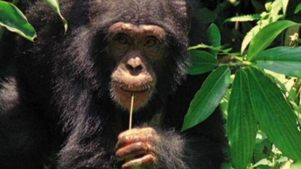 Pesquisa avaliou, entre outras coisas, se chimpanzés preferiam comida cozida à crua  (Foto: BBC)