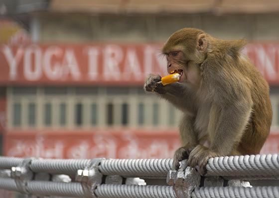 Um macaco-rhesus, depois de assustar uma jovem na ponte Lakshman Jhula, consegue um picolé e se delicia com o manjar (Foto: © Haroldo Castro/Época)