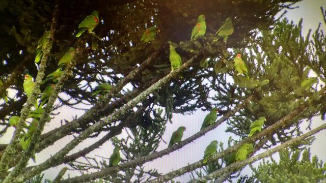 Bando de papagaios-charão pousado em uma araucária (Foto: RBS TV/Divulgação)
