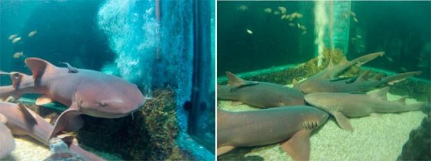 Aquário Natal possui tanque de mergulho com cinco tubarões da espécie lixa (Foto: Flávio Marcato)