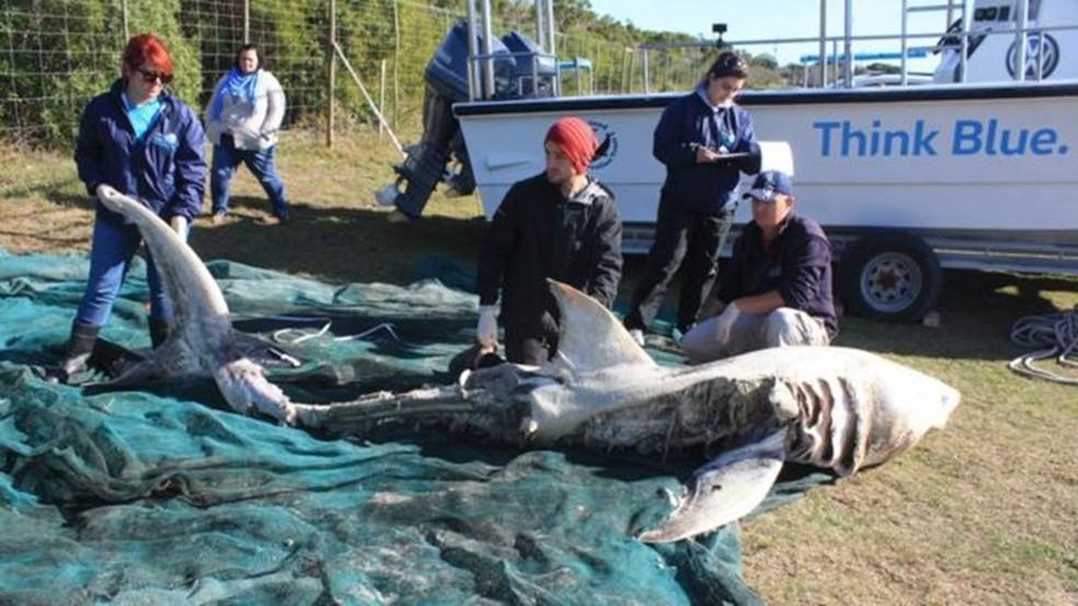 Ataques de orca a baleias não são incomuns, mas ataques a tubarões-brancos supreenderam especialistas (Foto: Marine Dynamics / Dyer Island Conservation Trust)