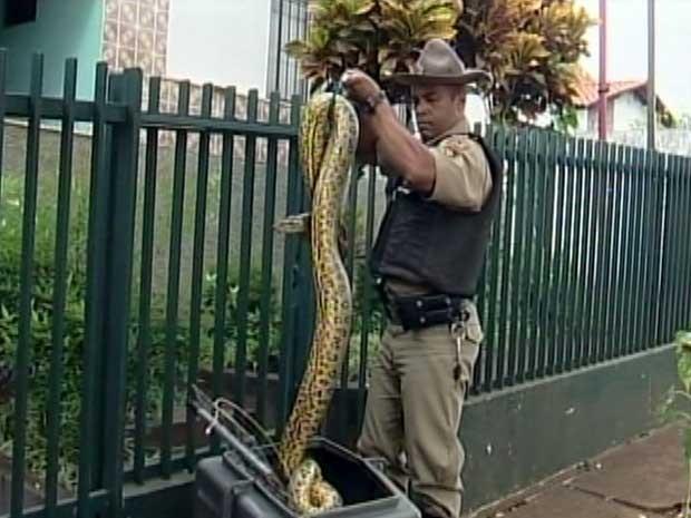 Cobra sucuri mede mais de dois metros (Foto: Reprodução/TV Integração)