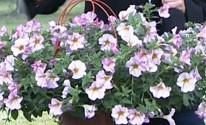 Sítio cultiva petúnias com mais de cem flores (Reprodução/TV)