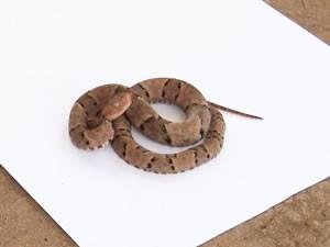 Cobra jararaca em MT (Foto: Divulgação/Bombeiros)