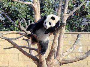 Panda gigante descansa em uma árvore no jardim zoológico de Hangzhou, na China. (Fot China Daily/Reuters)