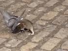 Rato e pombo são flagrados brigando em rua de Nova York