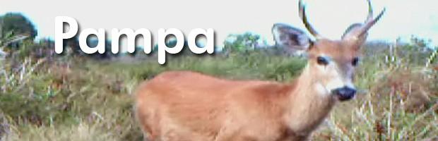 Cervo do Pampa enfrenta batalha  desigual pela sobrevivência (Rede Globo)