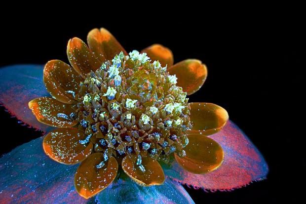 Espécie de margarida (Melampodium divaricatum) é vista sob o microscópio (Foto: Oleksandr Holovachov/ 7º lugar no Olympus BioScapes Digital Imaging Competition/ www.OlympusBioScapes.com)
