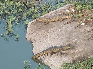 Jacarés foram vistos em ponte que dá acesso a Toritama (Foto: Reprodução/TV Asa Branca)