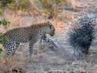 Lista reúne leopardos 'apanhando' de porco-espinho, gnu e até javali