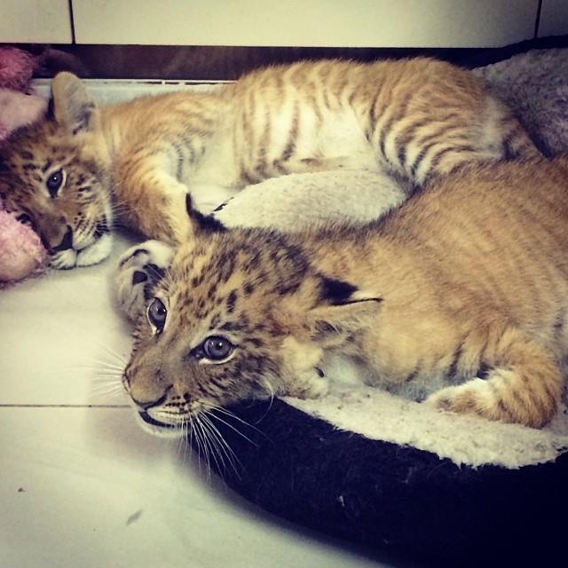 ParisHilton também ficou pertinho de filhotes de tigres (Foto: Reprodução/Instagram)