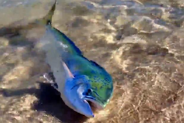 Peixe 'aventureiro' veio até a costa para 'se bronzear' diante de homem na Austrália (Foto: Reprodução/YouTube/rhys assan)