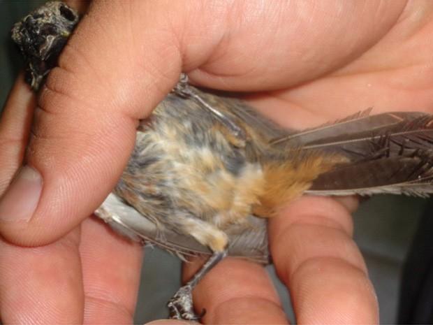 Quatro pássaros foram apreendidos pela PM Ambiental em Rifaina, SP (Foto: Polícia Militar Ambiental/Divulgação)