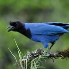 Confira imagens de pássaros de Santa Catarina (Dario Lins/Divulgação, nome científico: Cyanocorax caeruleus)