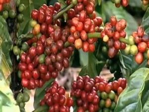 Veja como ficou a cotação do café (Foto: Reprodução/TV Gazeta)