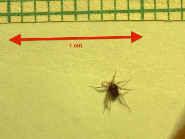 O animal terrestre mais rápido do mundo é um ácaro