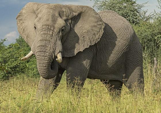 Os elefantes no Okavango, em Botsuana, podem representar uma ameaça às plantações dos agricultores locais  (Foto: © Haroldo Castro/ÉPOCA)