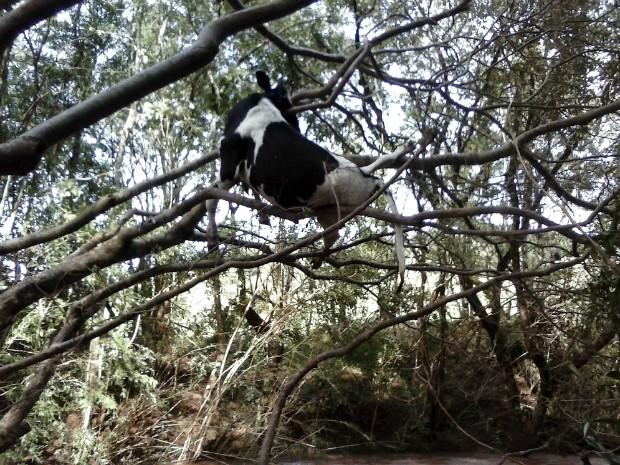 Vaca ficou presa em árvore depois de ser arrastada por correnteza em Quedas do Iguaçu (Foto: Lindomar Pereira / Arquivo pessoal)