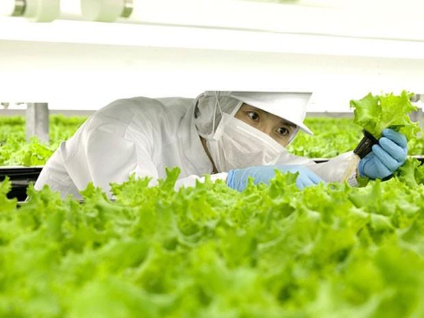 Trabalhador checa produção de alface numa fazenda da companhia Spread, que desenvolve a tecnologia. (Foto: Reprodução/Spread)