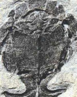 Fósseis do Microbrachius dicki são comuns, mas durante anos a vida sexual do peixe passou despercebida pelos cientistas por décadas  (Foto: BBC)