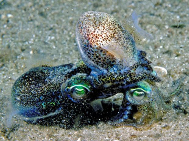 Imagem mostra cópula de lulas. Segundo cientistas, espécie tem cansaço muscular após relacionamento sexual duradouro. (Foto: Divulgação/Mark Norman/Universidade de Melbourne)