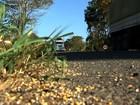 Soja guaxa que germina em locais públicos pode propagar doenças
