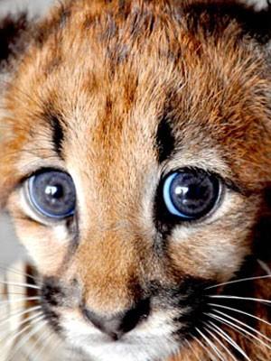 Filhote de onça-parda é encontrado na região de Americana com oito fraturas (Foto: Susy Coutinho / Divulgação Prefeitura de Americana)