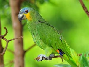 papagaio-verdadeiro (Amazona aestiva)  (Foto: Rudimar Narciso Cipriani)
