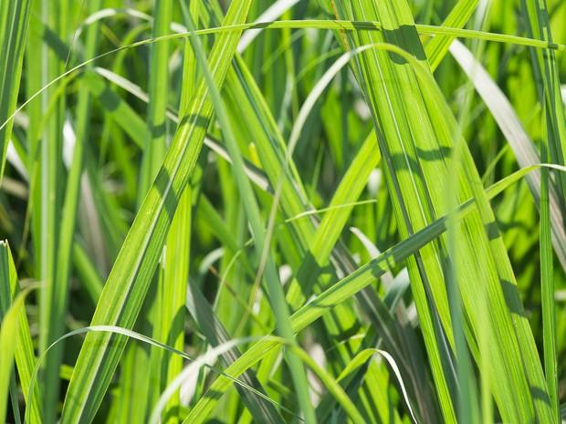 Sexta-feira (28) - Pesquisadores cultivam cana-de-açúcar para estudo sobre a genética da planta  (Foto: Érico Andrade/G1)