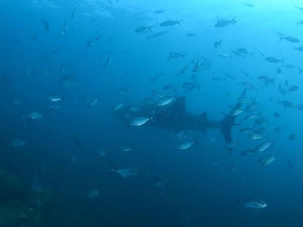 tubarão estava acompanhado cardume de peixes da espécie cara pau e bijuripá (Foto: João Paulo Scola/Operadora Pé de Pato)