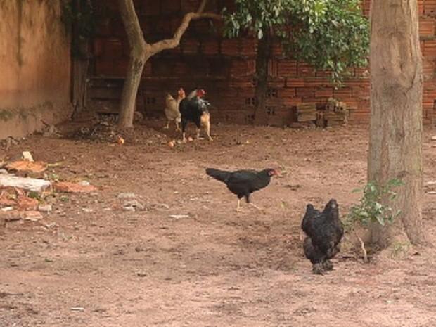 Mesmo em terrenos limpos, a criação de galinhas também é irregular (Foto: Reprodução/TV Tem)